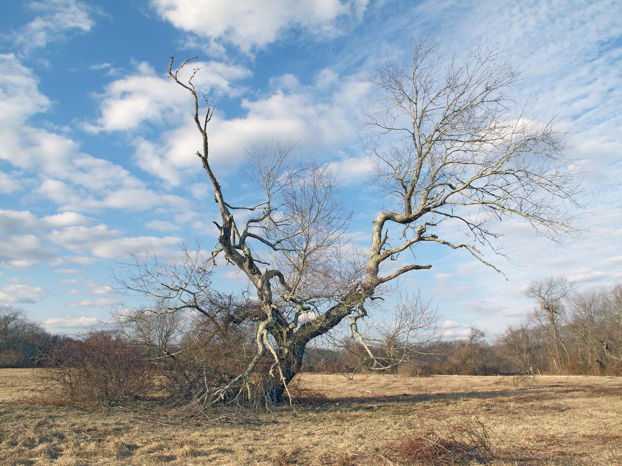 Ted Hendrickson, wolf tree