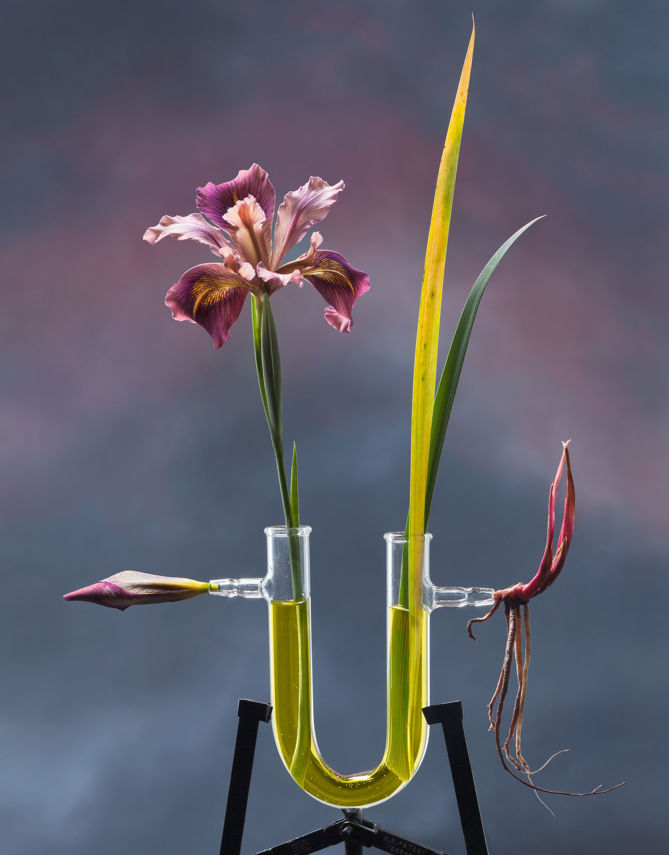 JO WHALEY, Iris ser. Californicae