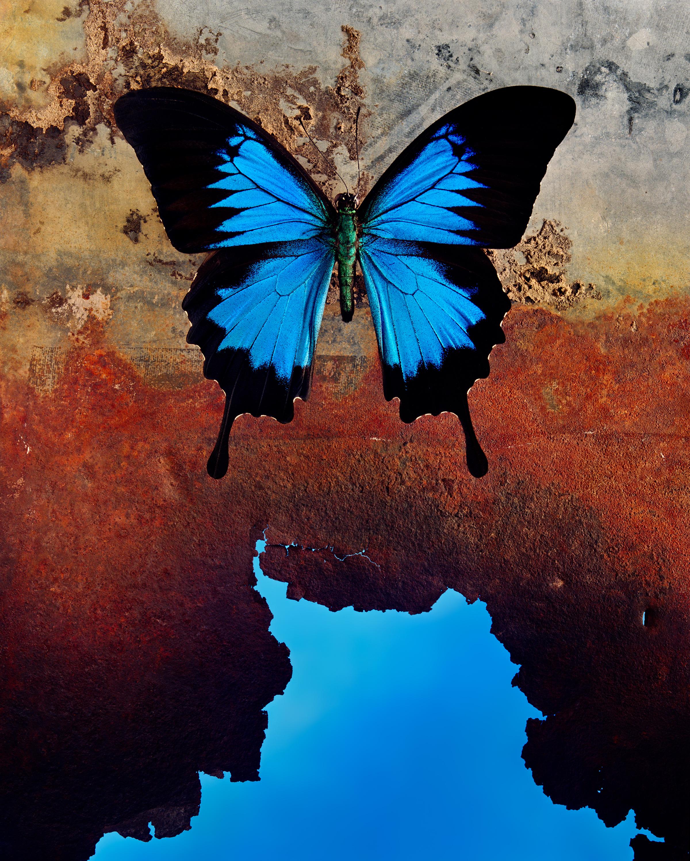 JO WHALEY, 08: Papilionidae papilio ulysses