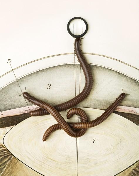 9: Narceus americanus