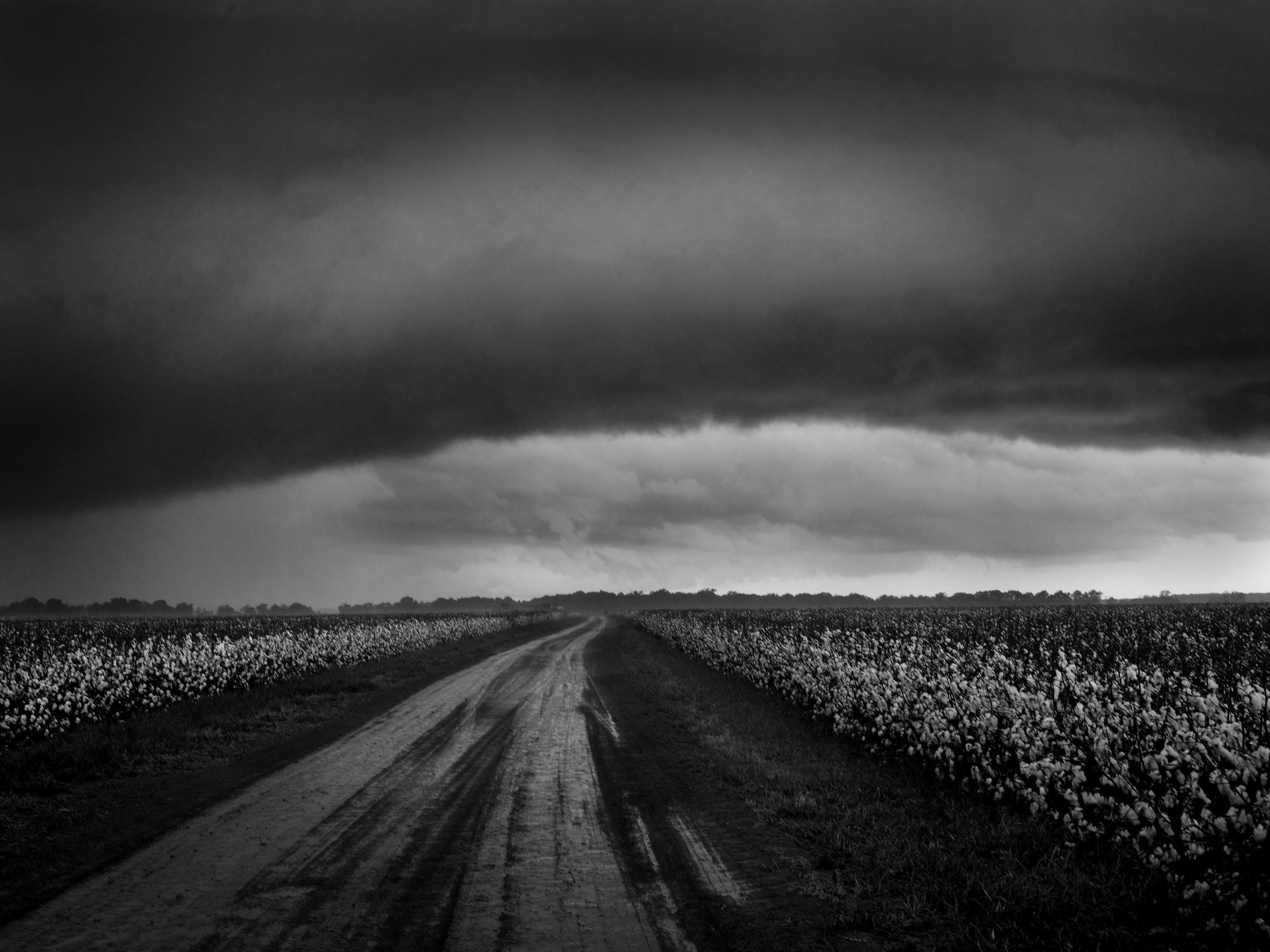 debbie caffery, Stormy Sky Over Cotton Fields