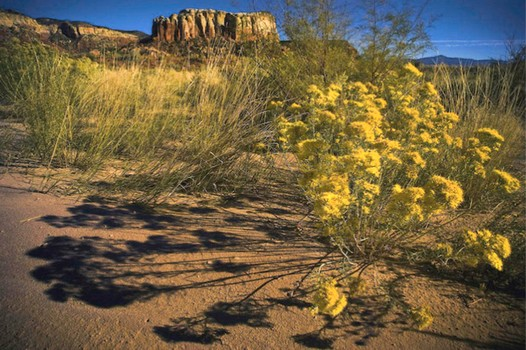 Flowers and Butte  Ghost Ranch New Mexico