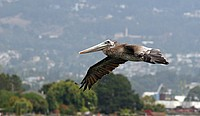 Brown Pelican (San Francisco Bay)