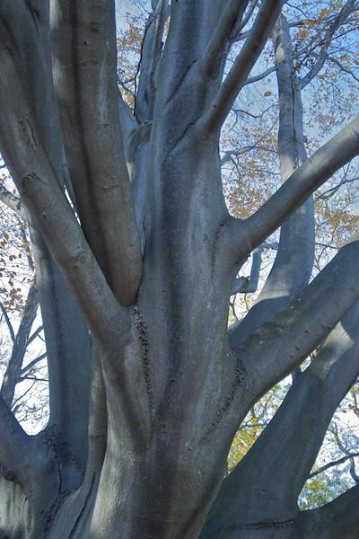 Beech Trees in Blue