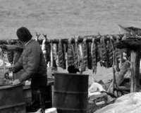 Drying Salmon, Kotzebue, Alaska