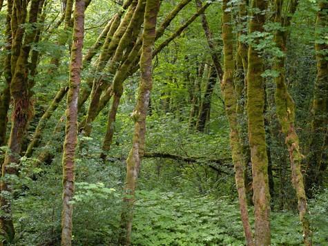 Forest detail #3, 053011, near Garbersville Ca.