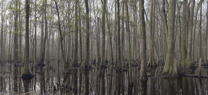 Great Swamp panorama #2, Jasper County, SC  031115