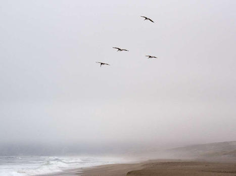 Pelicans (Abbotts Lagoon) - Point Reyes
