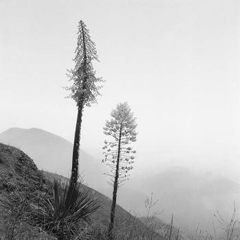 Yuccas - San Gabriel Mountains
