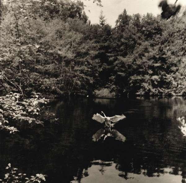 Territorial Swan