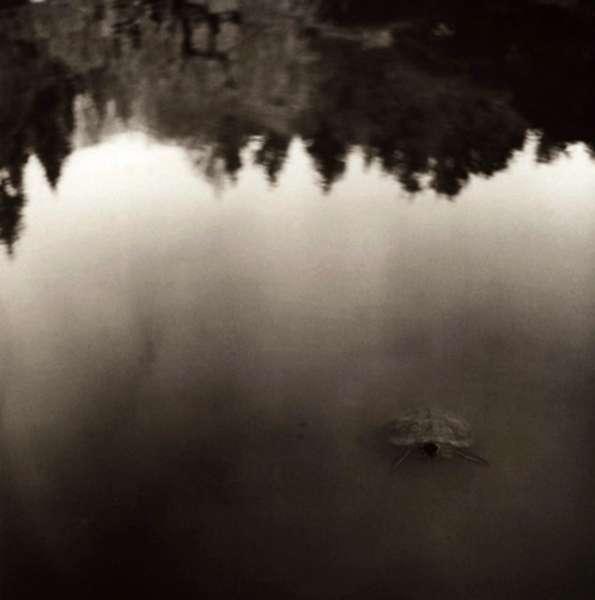 Turtle Submerging