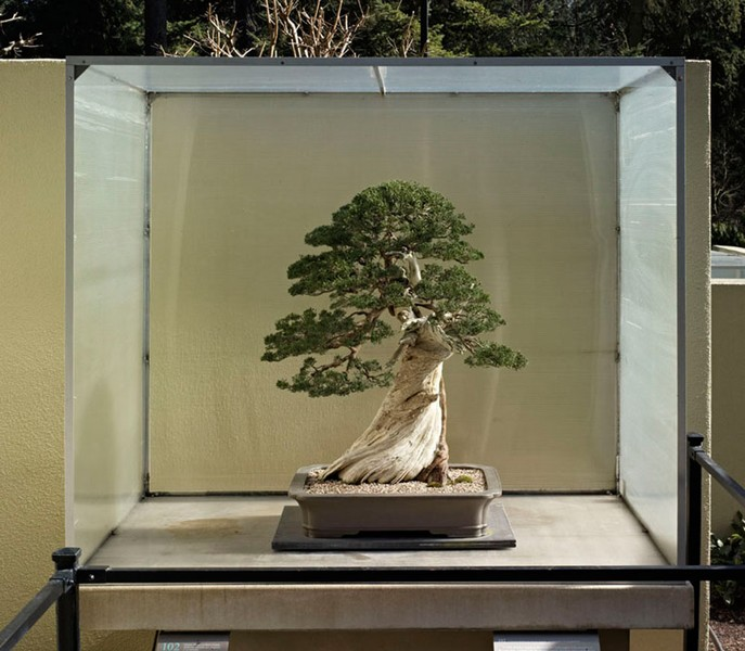 Chinese Juniper on Sierra Juniper, 102