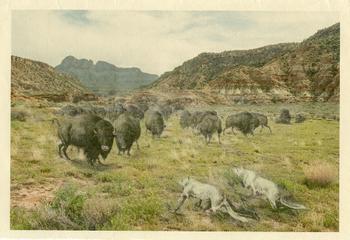 Bison Stalk