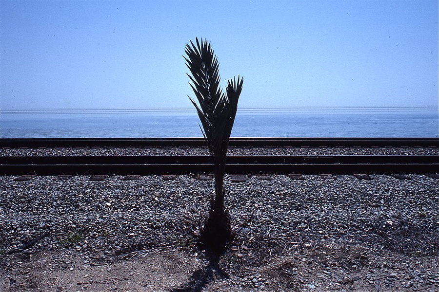 Palm, Las Flores Canyon, Gaviota