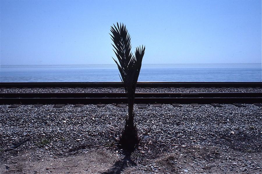 Palm, Las Flores Canyon, Gaviota