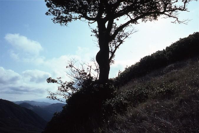 Tanbark Oak, Gaviota