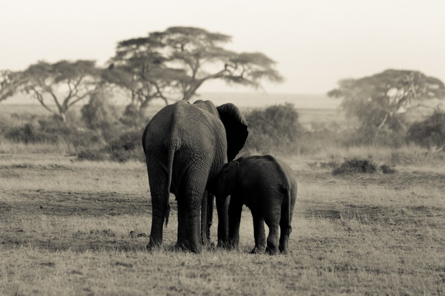 TEMBO~Elephant #1  KENYA