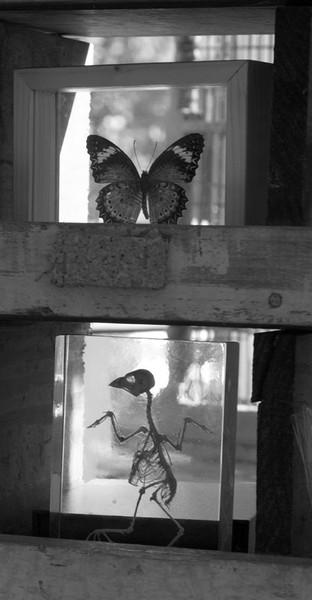 Papillon and skeleton