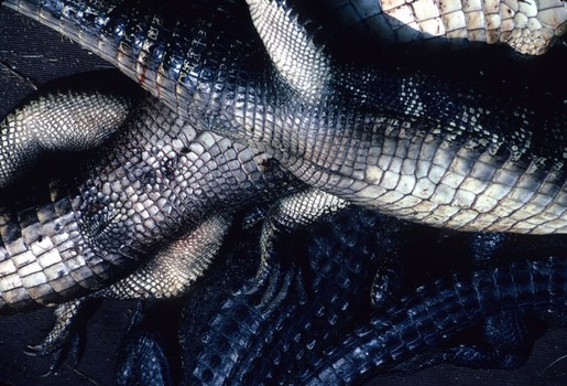 Alligators Waiting for Skinning