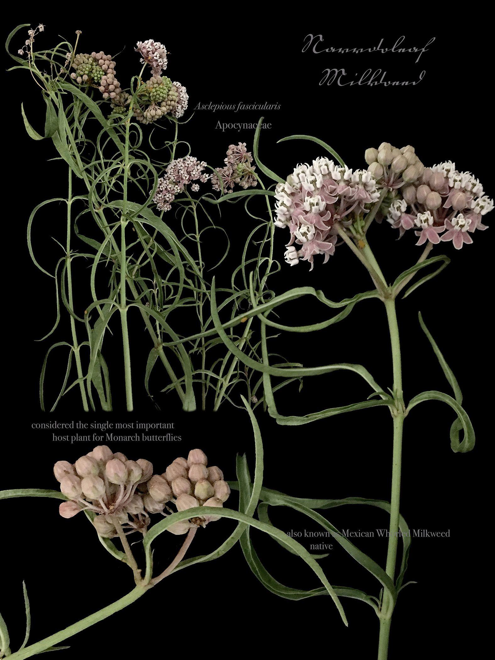 Elizabeth Kenneday, Narrowleaf Milkweed