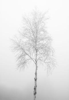 Silver Birch in Mist. Norfolk, England. 2006