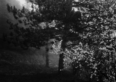 White Blossom in Mist. Umbria, Italy. 2007