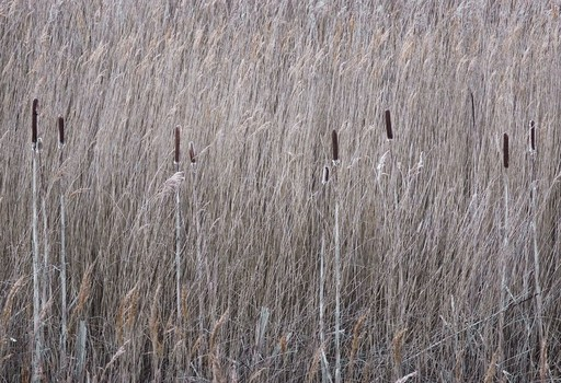 Bulrush and Reeds, Norfolk, England. 2007