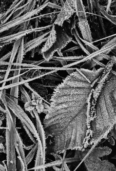Frosted Leaves. Umbria, Italy. 2006