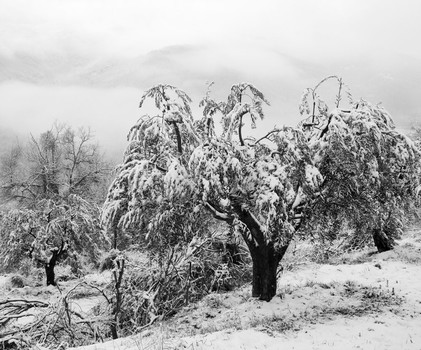 Olive Trees in Winter. Umbria, Italy. 2006