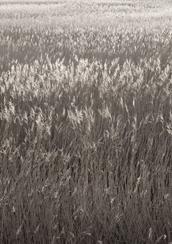 Reed Beds. North Norfolk, England. 2007