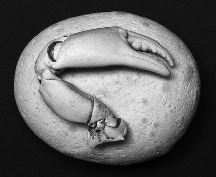 Crab Claw on Pebble. 2006