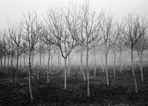 Walnut Trees 2. Umbria, Italy. 2006
