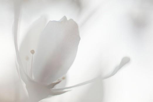 Amelanchier blossom 2014