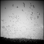 Migrant Avian