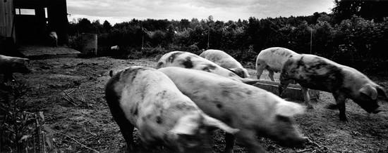 Charging Pigs