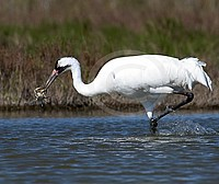 Whooping Crane with main diet, Blue Crab