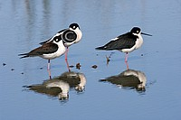 Black Necked Stilt  Himantopus mexicanus