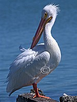 American White Pelican, Peledanus erythrorhynchos
