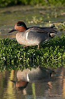Green Teal Wading