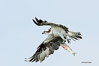 Osprey Freedom