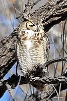 Great Honred Owl