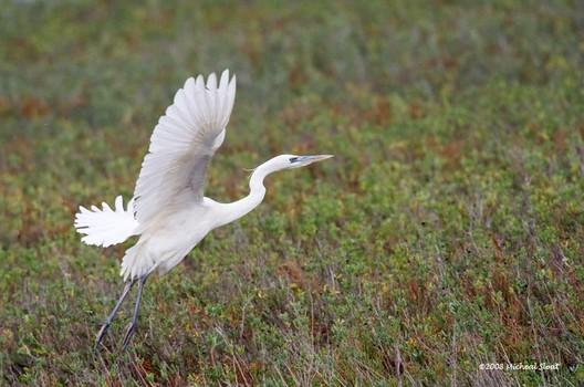 White Morph Blue Heron