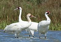 Whooping Crane Family II