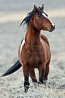 Wyoming Wild Mustang Stallion