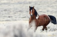 Wild Wyoming Mustang Stallion