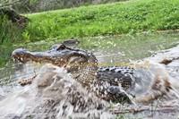 Gator I