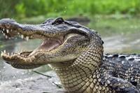 Gator II