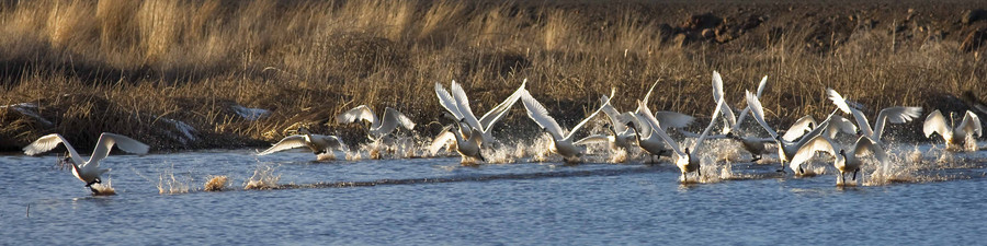 Tundra Swans Lifting Off