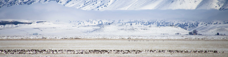 Snow Geese, Canada Geese, Sandhill Cranes
