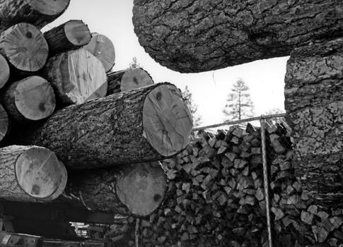 Bark Beetle Infested Trees/Firewood, Big Bear